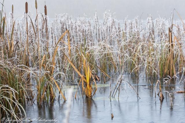 reeds.1a.JPG