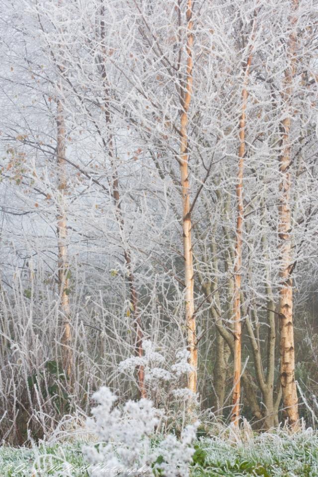 trees.ice.JPG