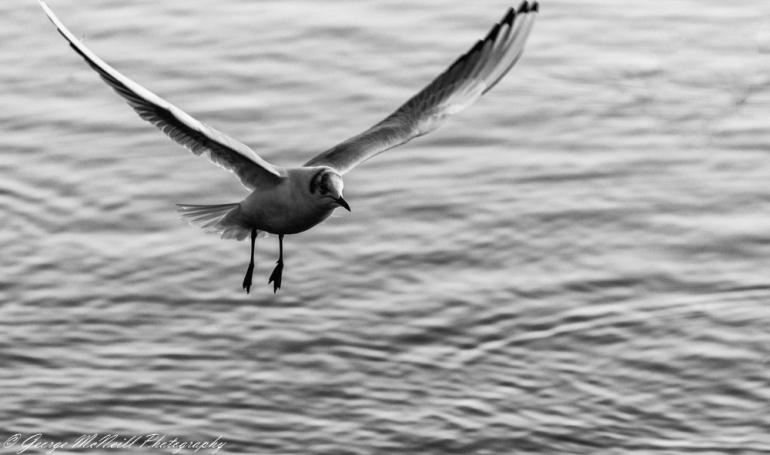 blacked headed gull2.JPG