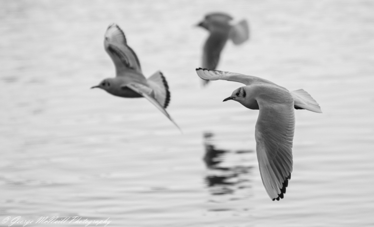 blacked headed gull2a.JPG