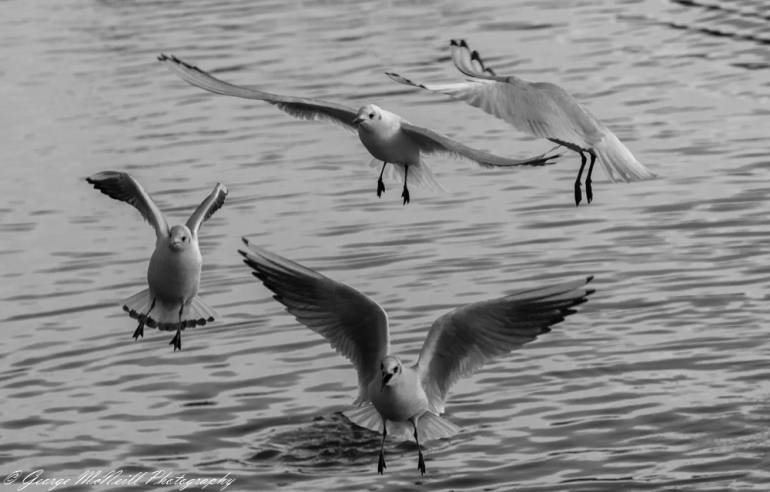 blacked headed gull3a.JPG