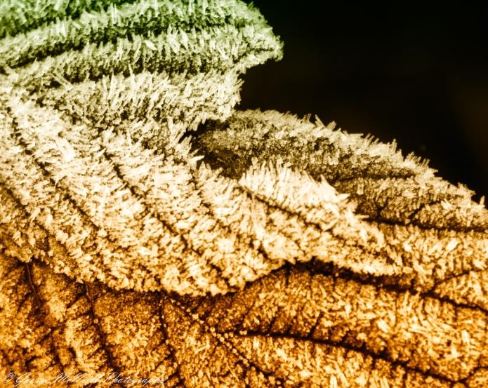 frost leaf2.JPG