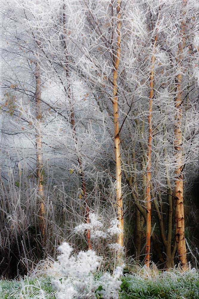 trees.ice1a.jpg