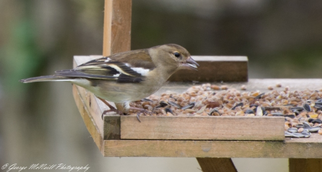 Chaffinch Female1.JPG