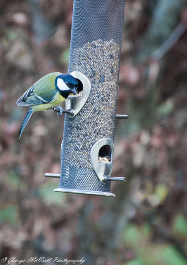 great tit1.JPG