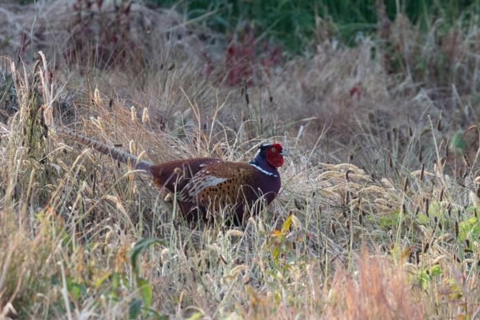 pheasant-4429.jpg