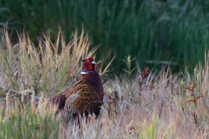 pheasant-4437.jpg