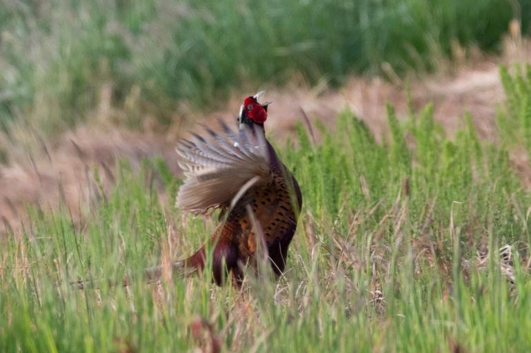 pheasant-4454.jpg