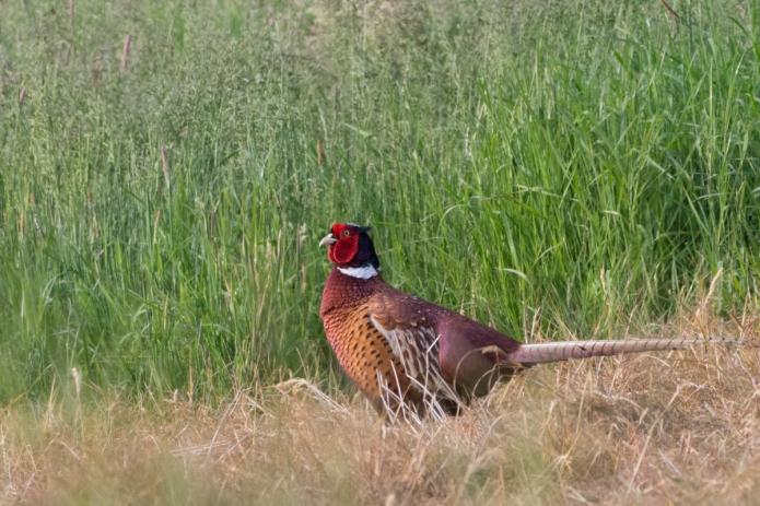 pheasant-4481.jpg
