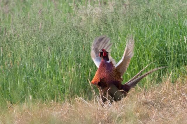 pheasant-4489.jpg