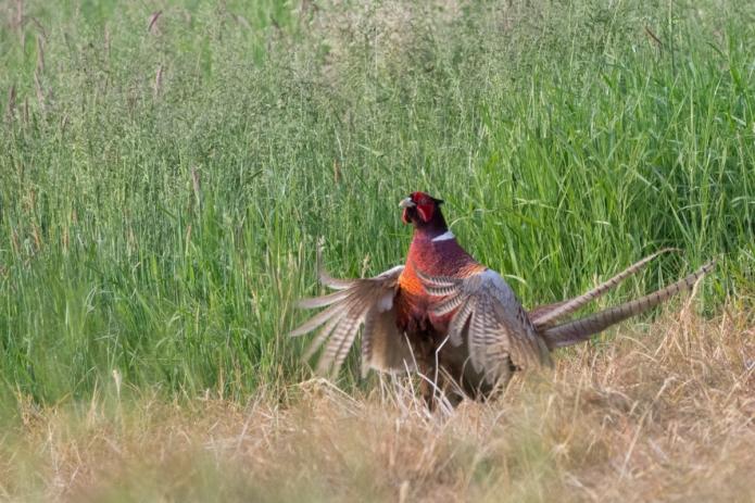 pheasant-4490.jpg