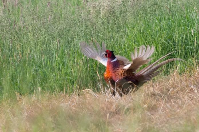 pheasant-4491.jpg