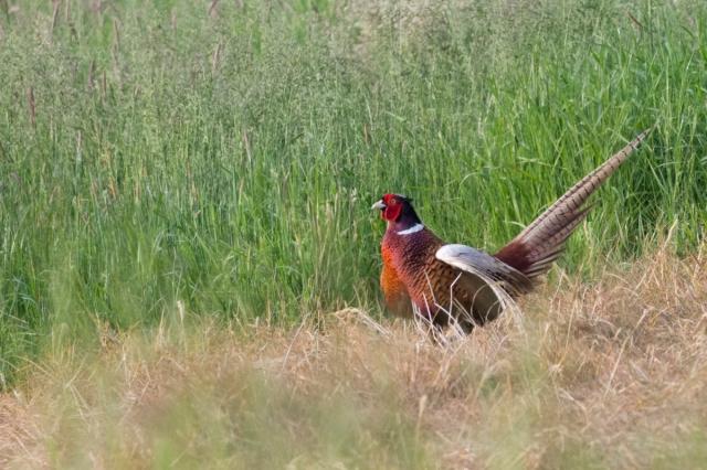 pheasant-4492.jpg