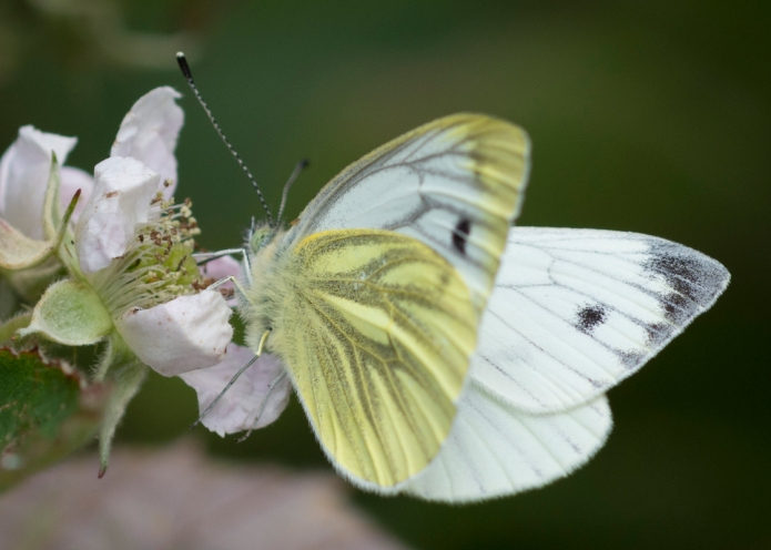 Bee.butterfly-4658.jpg