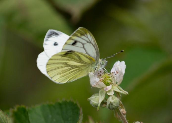 Bee.butterfly-4665.jpg