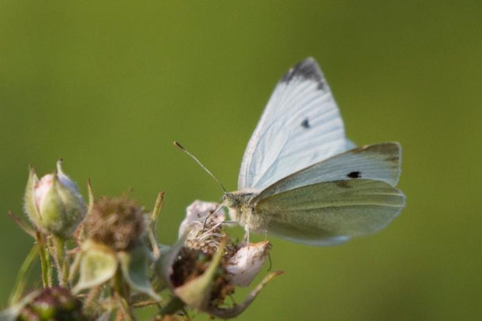 Bee.butterfly-5335.jpg